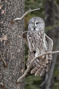 #1140 Great Gray Owl