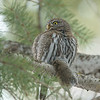 """The Prize""<br /> <br /> Northern Pygmy Owl"