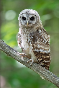 #1254 Barred Owlet