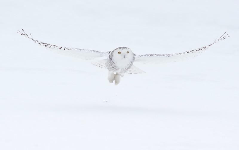 female Snowy Owl