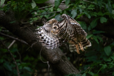 #1679 Barred Owlet