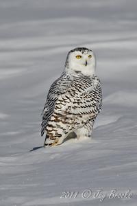 Snowy Owl  2011-3