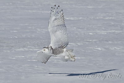Snowy Owl  2011-10