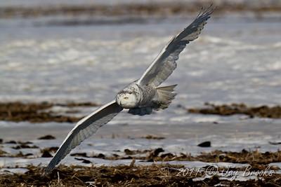 Snowy Owl  2011-33