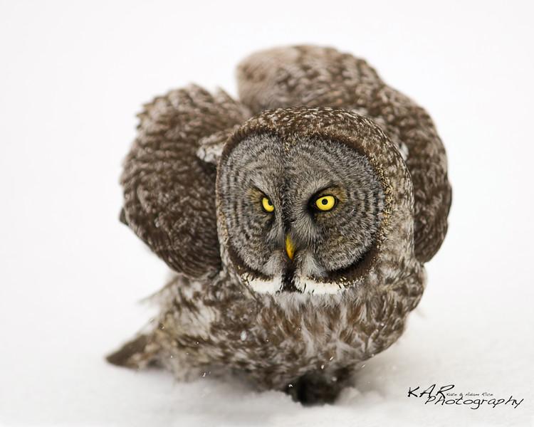 Great Gray Owl on Snow