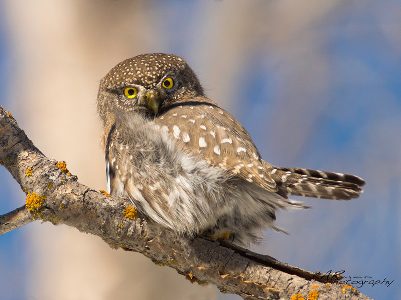 """Fierce""<br /> <br /> Northern Pygmy Owl"
