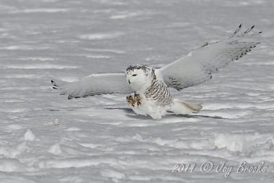 Snowy Owl  2011-18