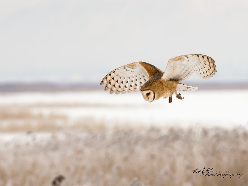 Barn Owl; Tyto alba