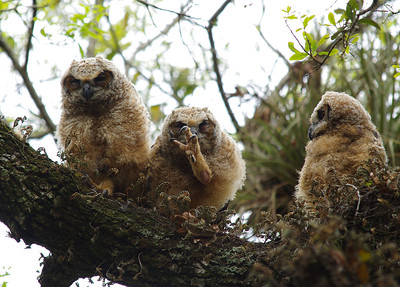 Great horned owlets Long Key Nature Center Davie, Florida