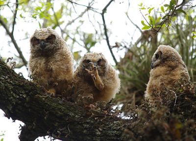Great horned owlets Long Key Nature Center Davie, Florida