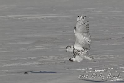 Snowy Owl  2011-2