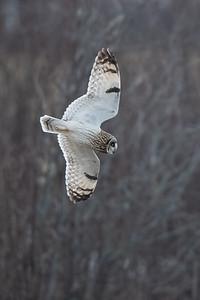 #1566 Short-eared Owl