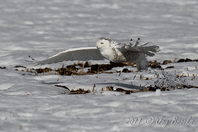 Snowy Owl  2011-24