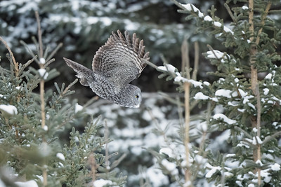 #1344 Great Gray Owl