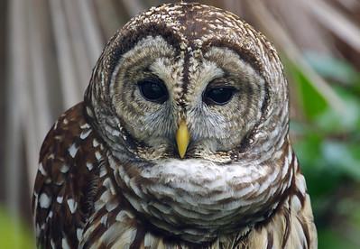 Barred Owl Mahogany Hammock Everglades National Park