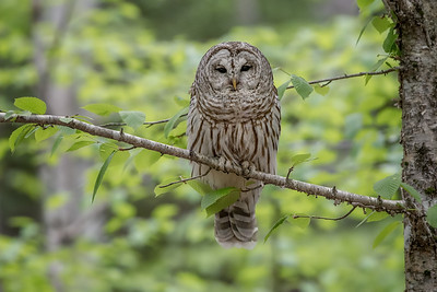 #724 Barred Owl