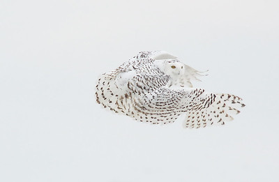 Snowy Owl on the move