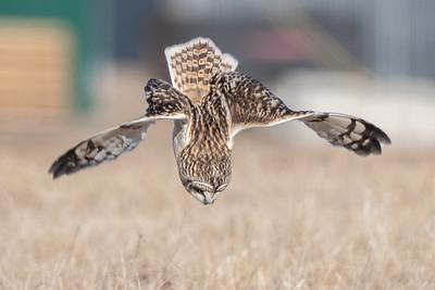 #1599 Short-eared Owl