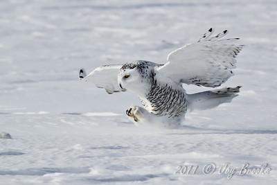 Snowy Owl  2011-16