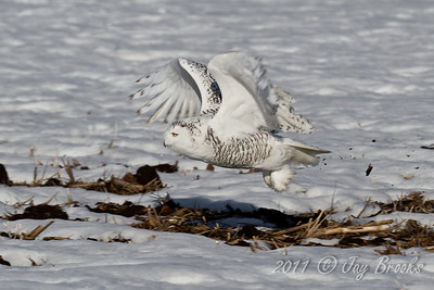 Snowy Owl  2011-28