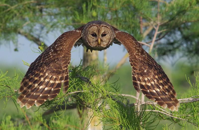 barred owl in-flight Everglades National Park