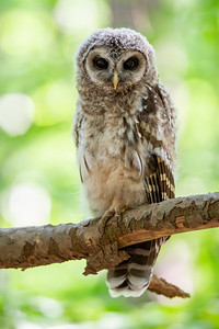 #1260 Barred Owlet