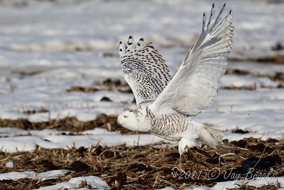 Snowy Owl  2011-34
