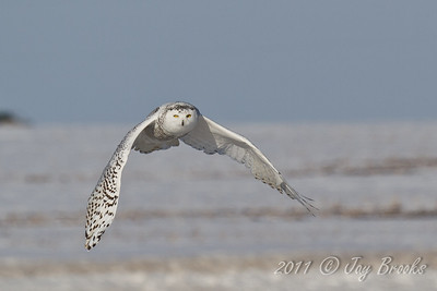 Snowy Owl  2011-30