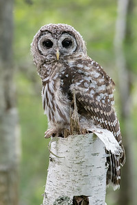 #756 Barred Owl