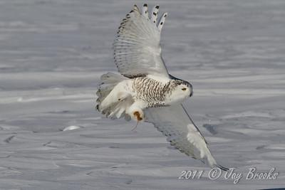 Snowy Owl  2011-9