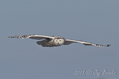 Snowy Owl  2011-31