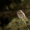 Northern Pygmy Owl, UT