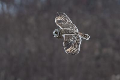 #1565 Short-eared Owl