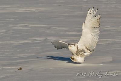 Snowy Owl  2011-4