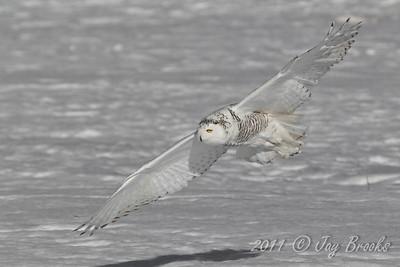 Snowy Owl  2011-25