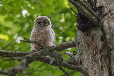 #1636 Barred Owlet