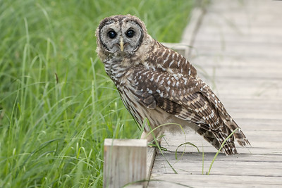 #1004 Barred Owlet