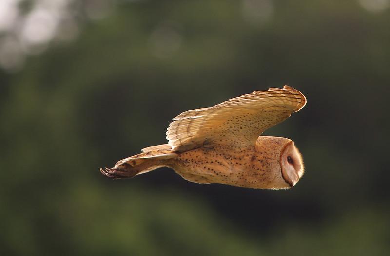 the Hunter - Barn Owl  Everglades National Park (3rd Place -2013 Fairchild Tropical Botanic Gardens Birding Festival Photo Contest)