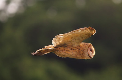 the Hunter - Barn Owl  Everglades National Park (3rd Place -2013 Fairchild Tropical Botanic Gardens Birding Festival Photo Contest)