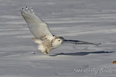 Snowy Owl  2011-7