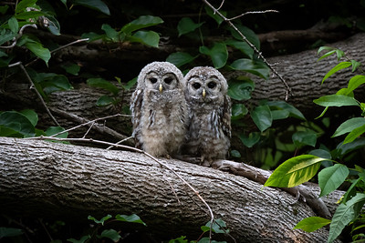 #1682 Barred Owlets