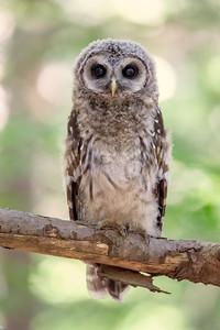 #1261 Barred Owlet
