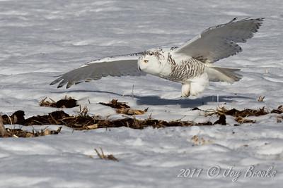 Snowy Owl  2011-26