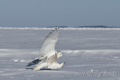 Snowy Owl  2011-5