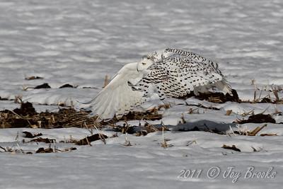 Snowy Owl  2011-29