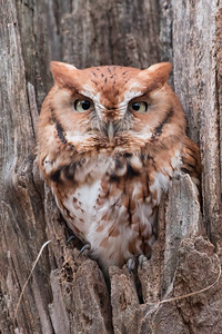 #835 Screech Owl