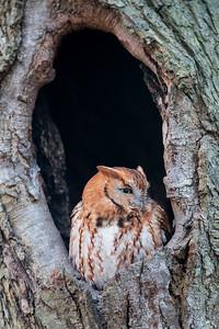 #887 Eastern Screech Owl