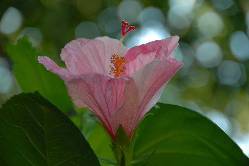 Seminole Pink Hibiscus reaching for the sky.