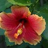 Florida Sunset Hibiscus by morning light.