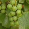 Mustang grapes.